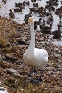 swan-3